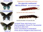 polyphenism in butterflies and moths the pipevine swallowtail battus philenor nice and fordyce 2006