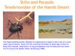 stilts and parasols tenebrionidae of the namib desert