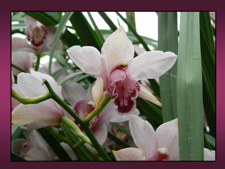 Orchid es cymbidium