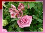 rose et astroem rias