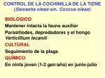 control de la cochinilla de la tizne saissetia oleae sin coccus oleae