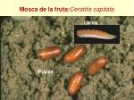 mosca de la fruta c eratitis capitata