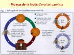 mosca de la fruta ceratitis capitata4