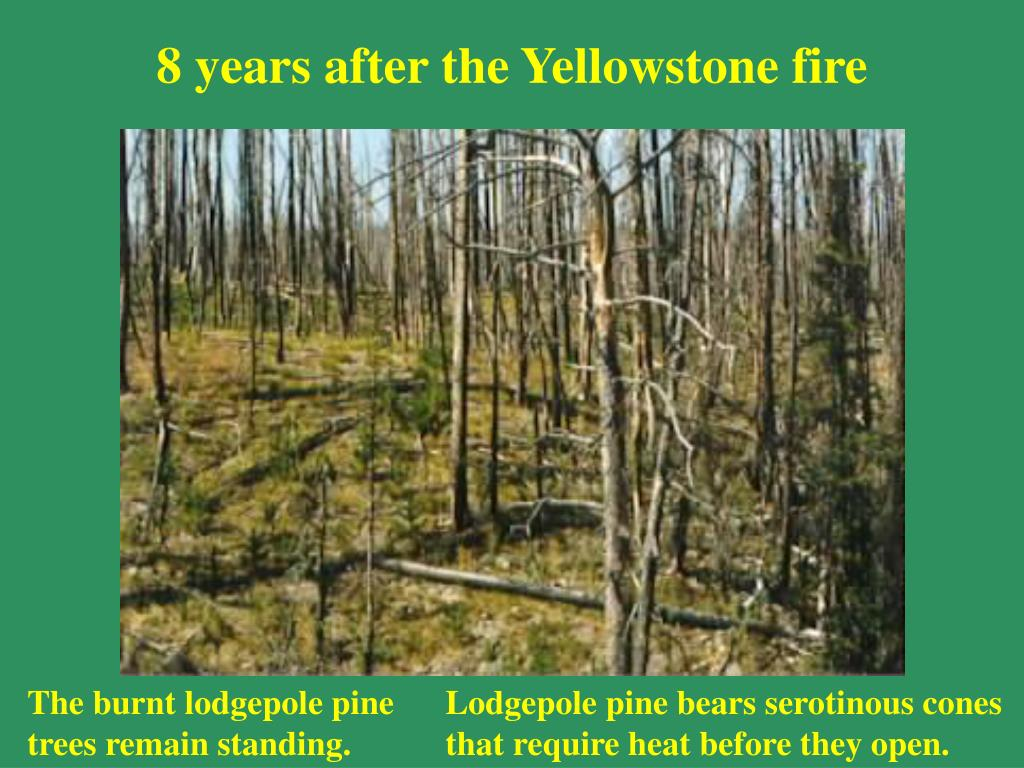 8 years after the Yellowstone fire