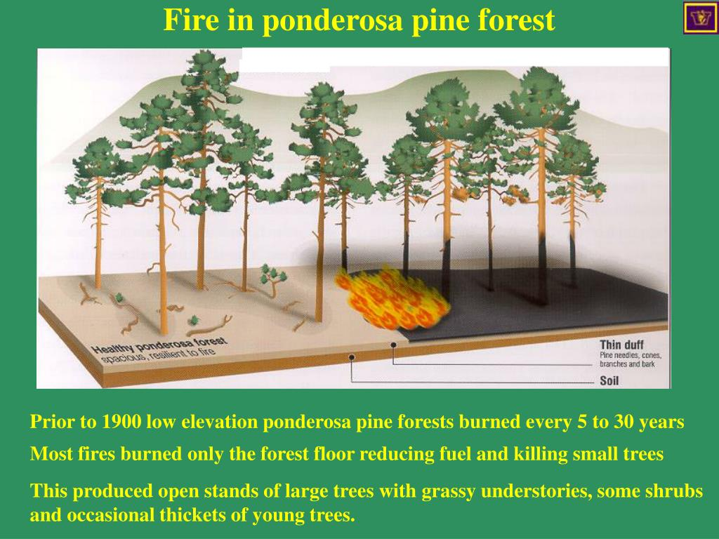 Fire in ponderosa pine forest