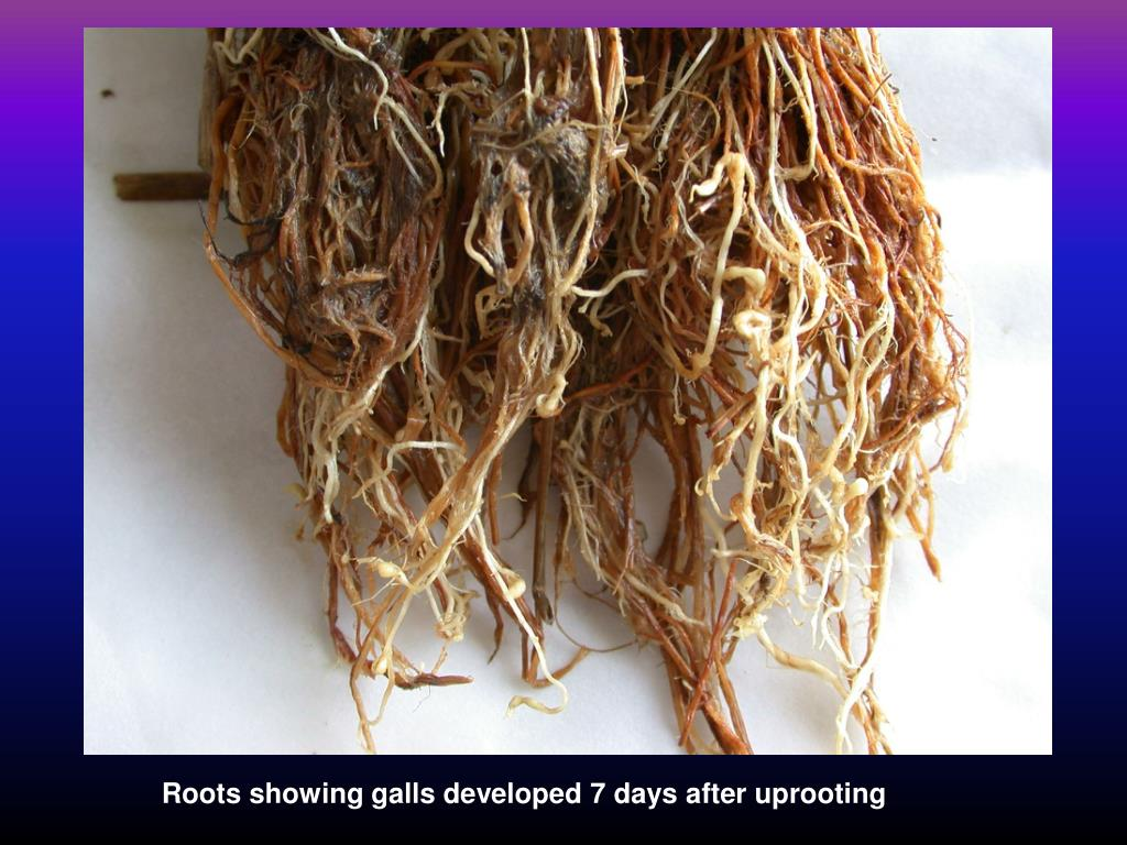 Roots showing galls developed 7 days after uprooting