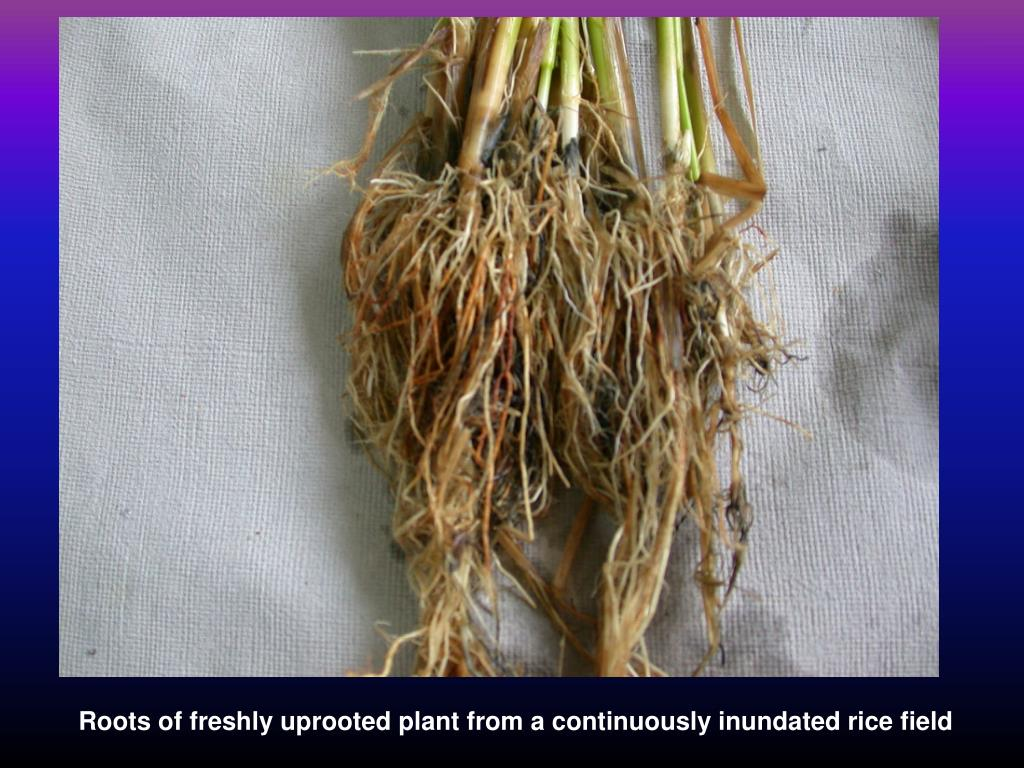 Roots of freshly uprooted plant from a continuously inundated rice field