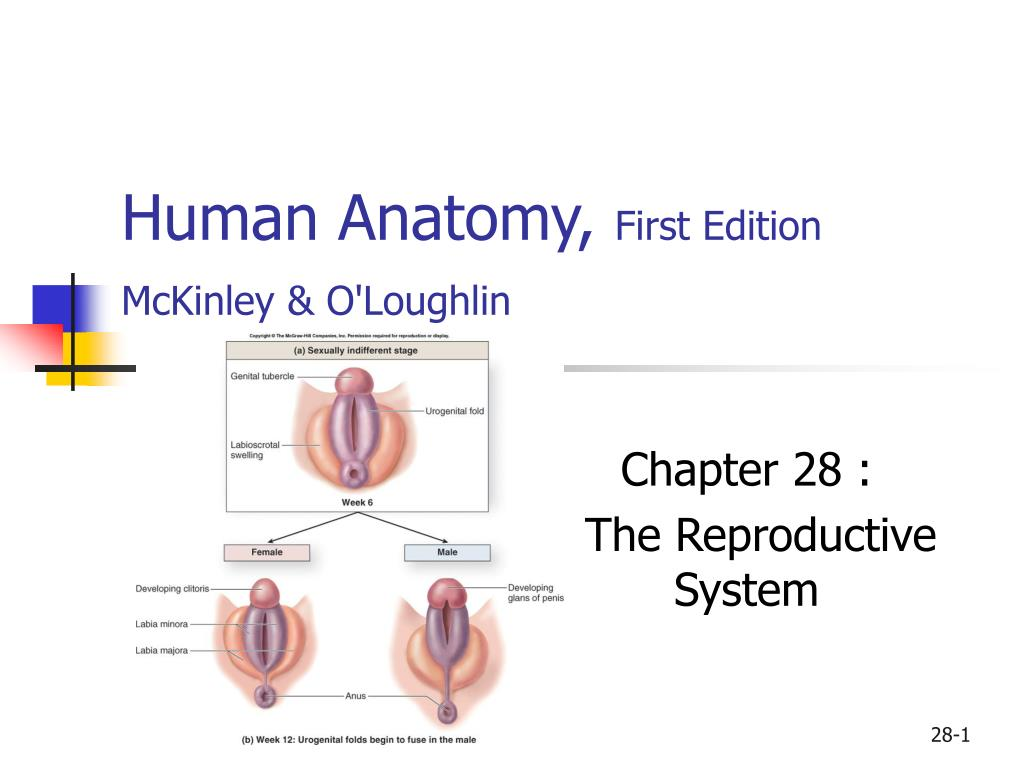 human anatomy first edition mckinley o loughlin l.