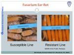 fusarium ear rot
