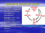 meiosis sexual life cycles