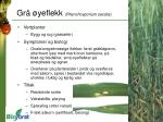 gr yeflekk rhynchosporium secalis