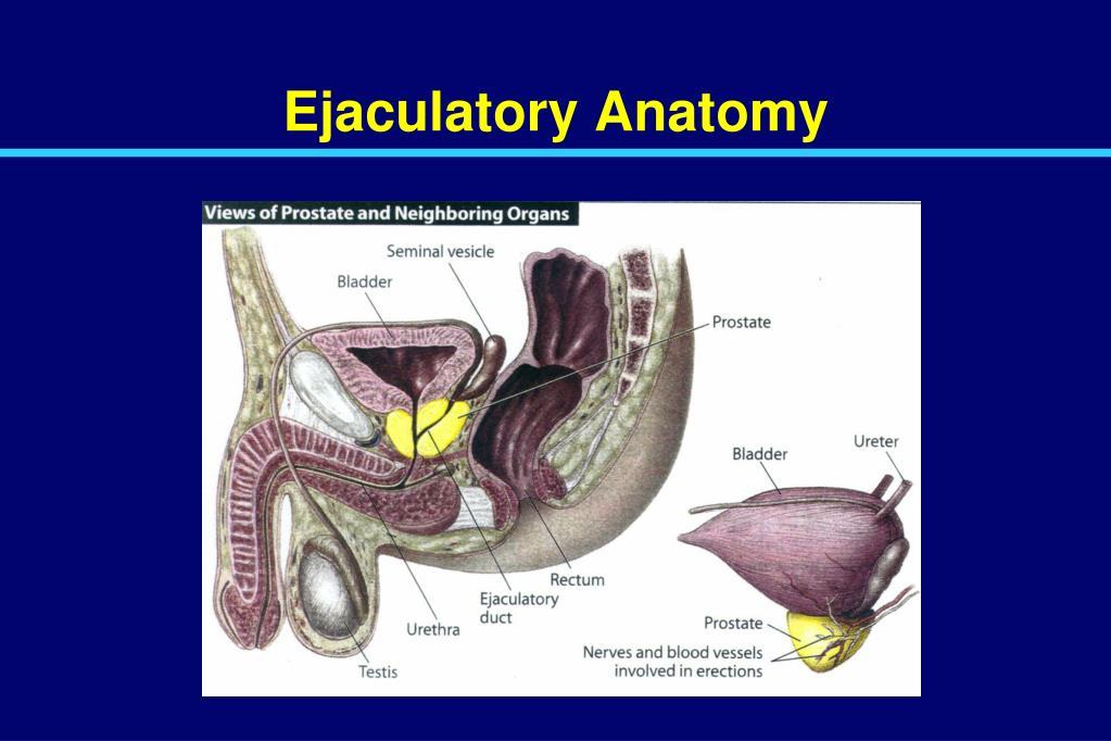 Ejaculatory Anatomy