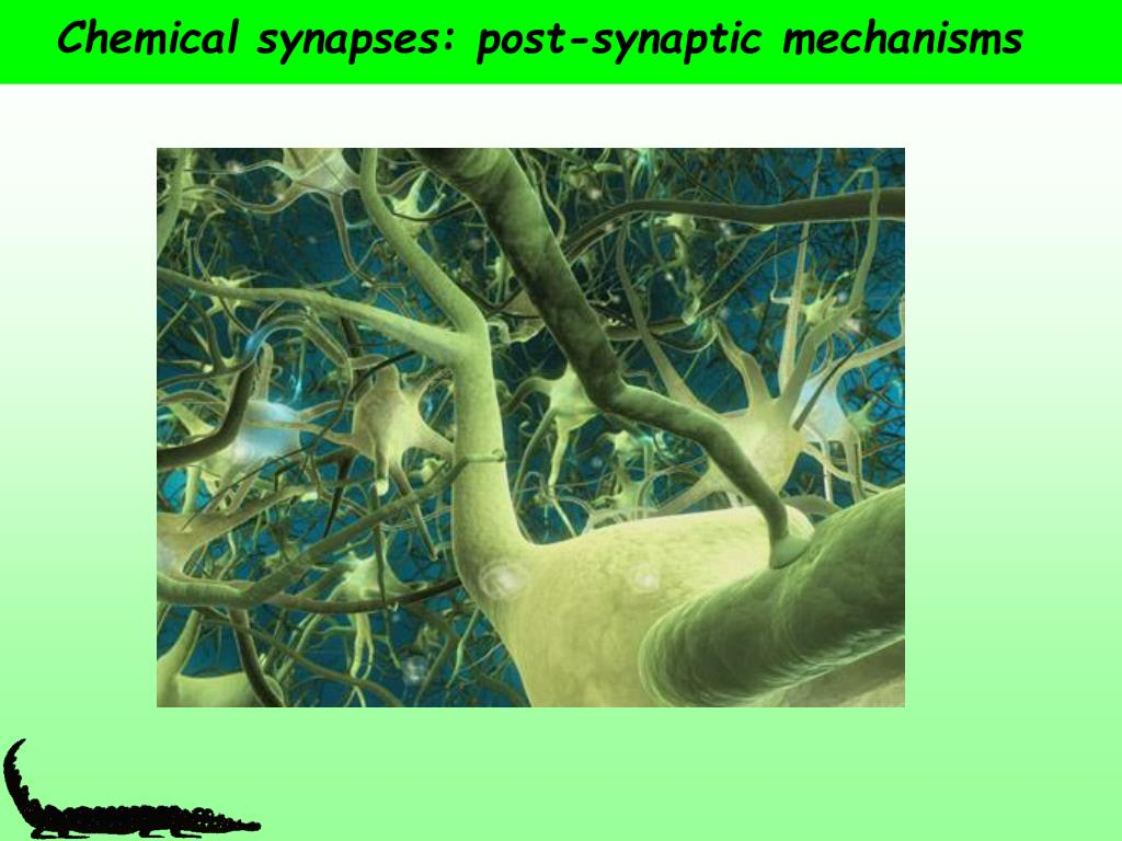 chemical synapses post synaptic mechanisms l.