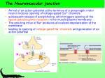the neuromuscular junction11