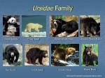 ursidae family