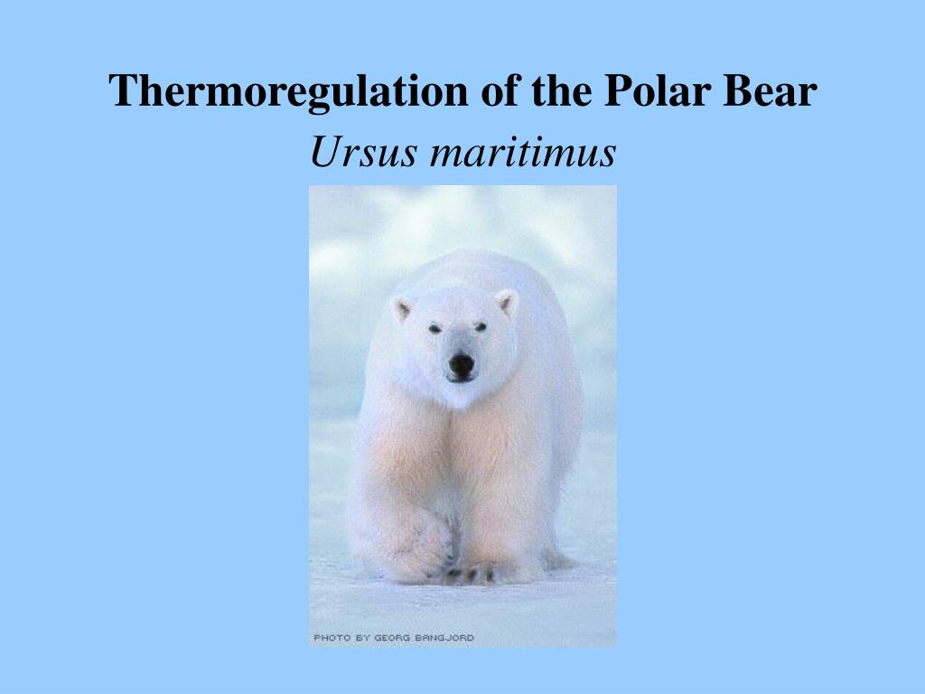 thermoregulation of the polar bear ursus maritimus l.