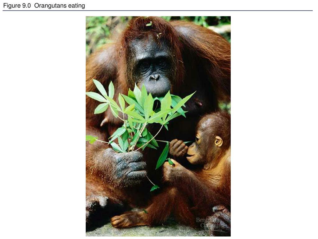 figure 9 0 orangutans eating l.