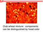 club wheat mixture components can be distinguished by head color