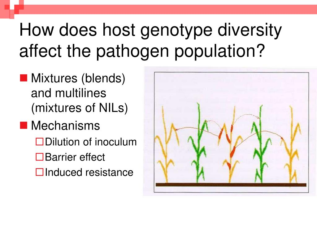 how does host genotype diversity affect the pathogen population l.
