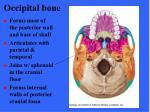 occipital bone