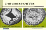 cross section of crop stem