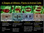 4 stages of mitosis plants animal cells