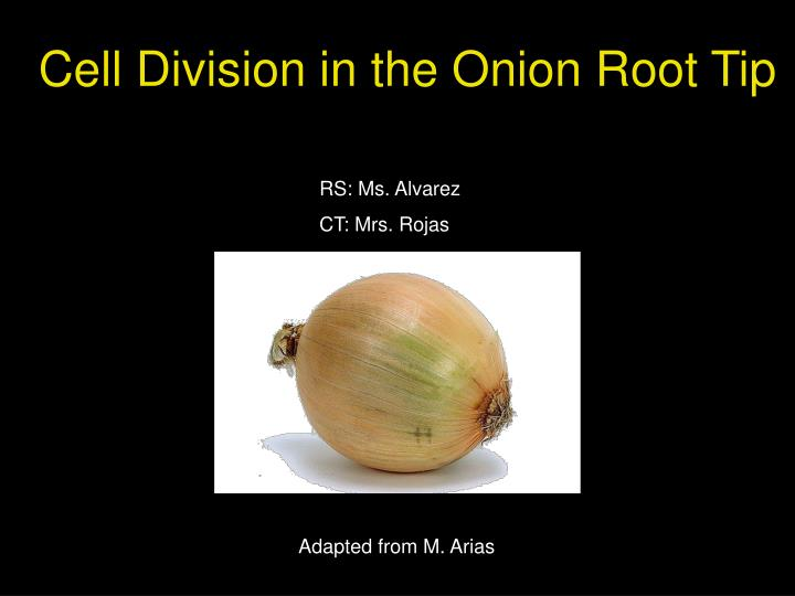 cell division in the onion root tip n.