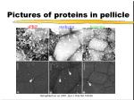 pictures of proteins in pellicle