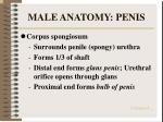 male anatomy penis21