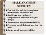male anatomy scrotum