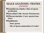 male anatomy testes continued