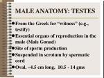 male anatomy testes