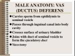 male anatomy vas ductus deferens