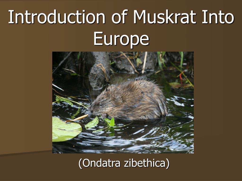 introduction of muskrat into europe l.