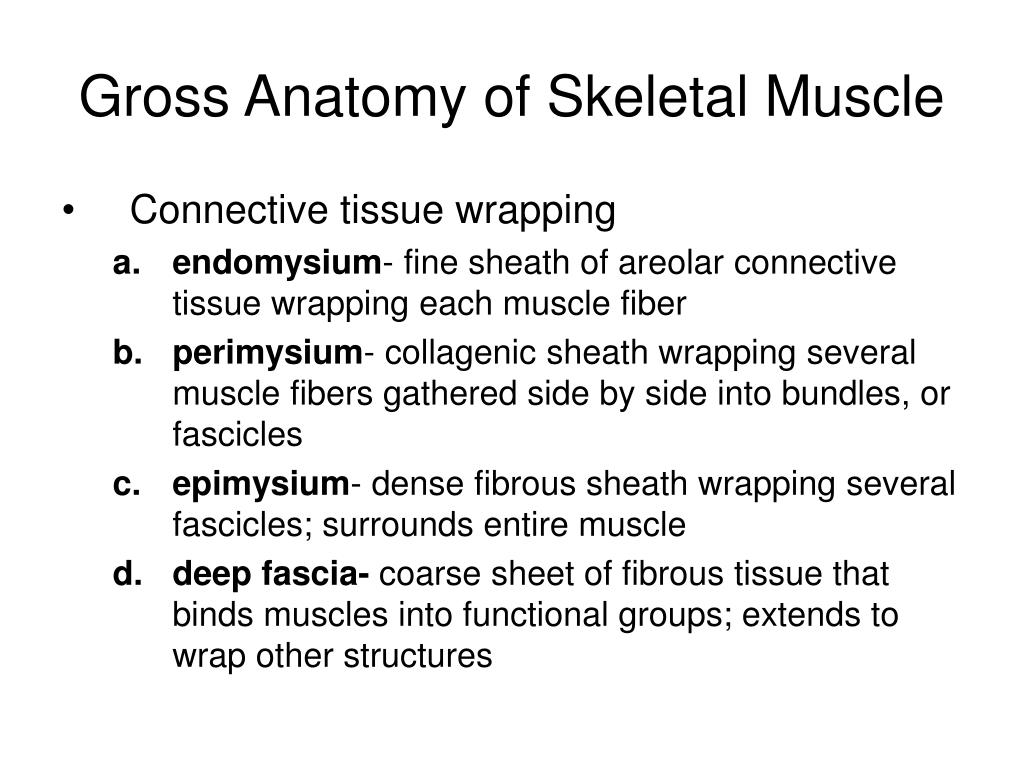 gross anatomy of skeletal muscle l.