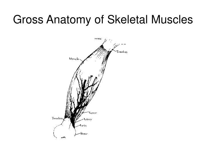 PPT - Gross Anatomy of Skeletal Muscle PowerPoint Presentation - ID ...