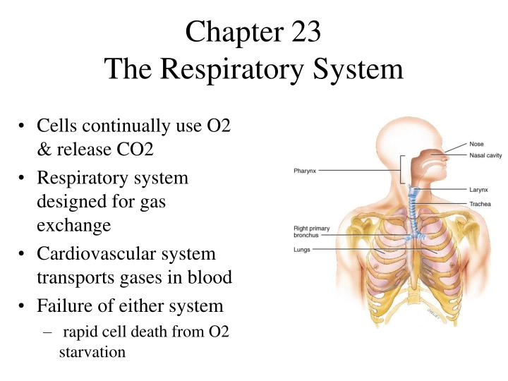 chapter 23 the respiratory system n.
