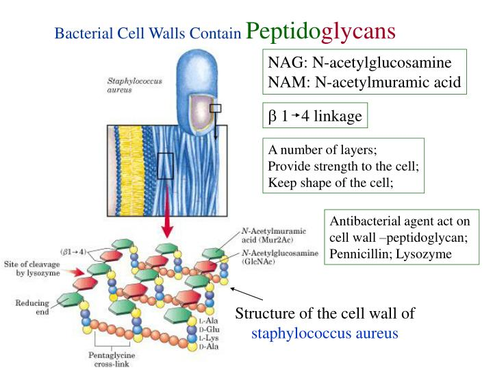 Bacterial Cell Walls Contain