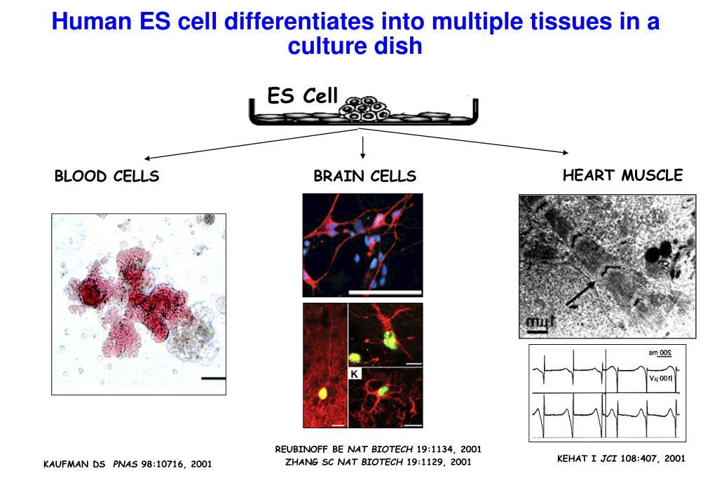 ES Cell
