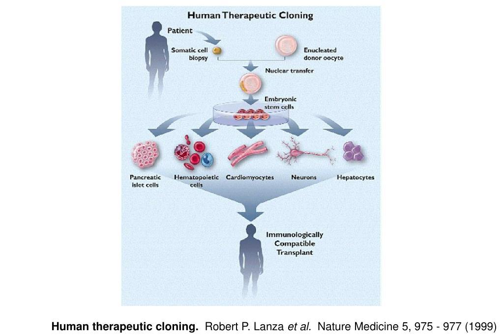 Human therapeutic cloning.