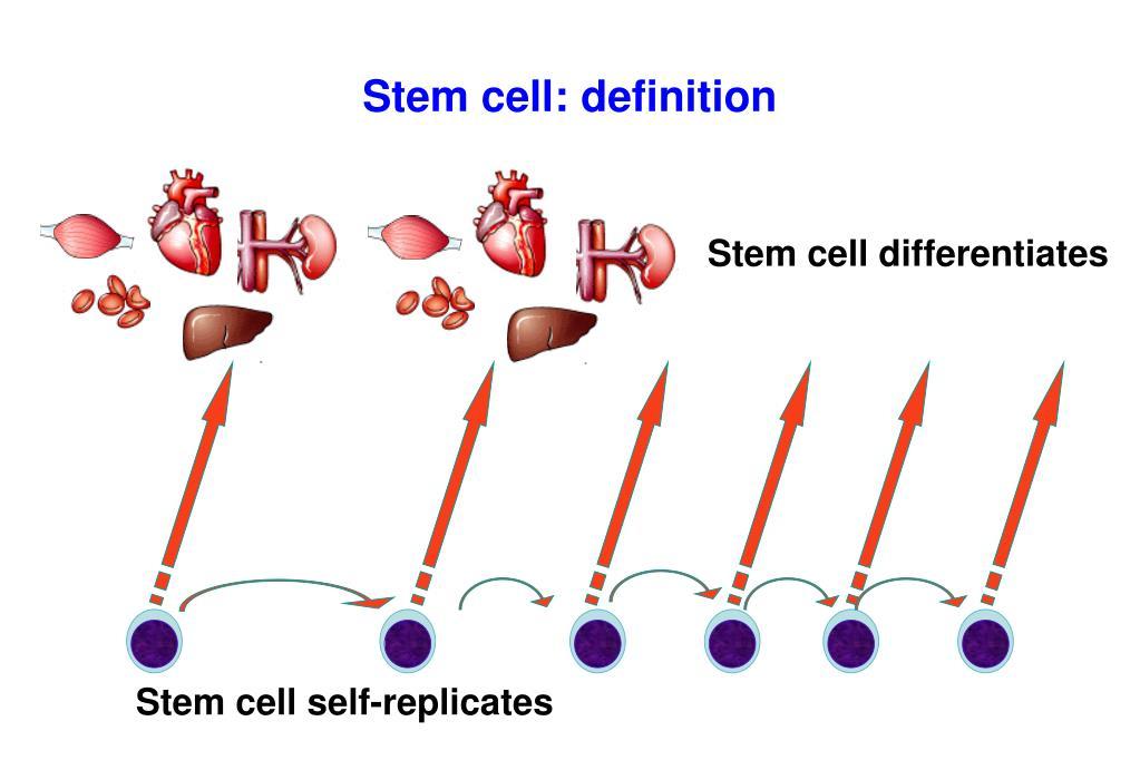 Stem cell: definition