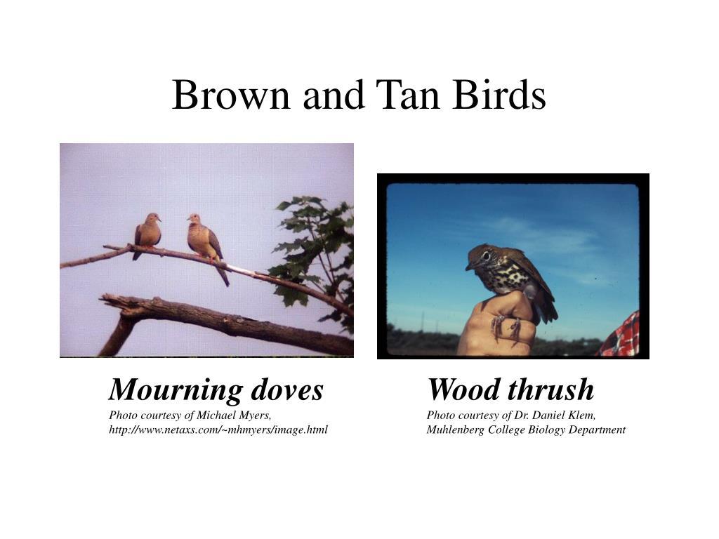 Brown and Tan Birds