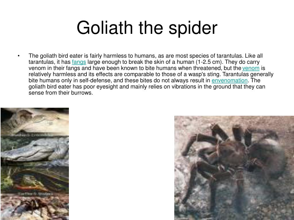 goliath the spider l.