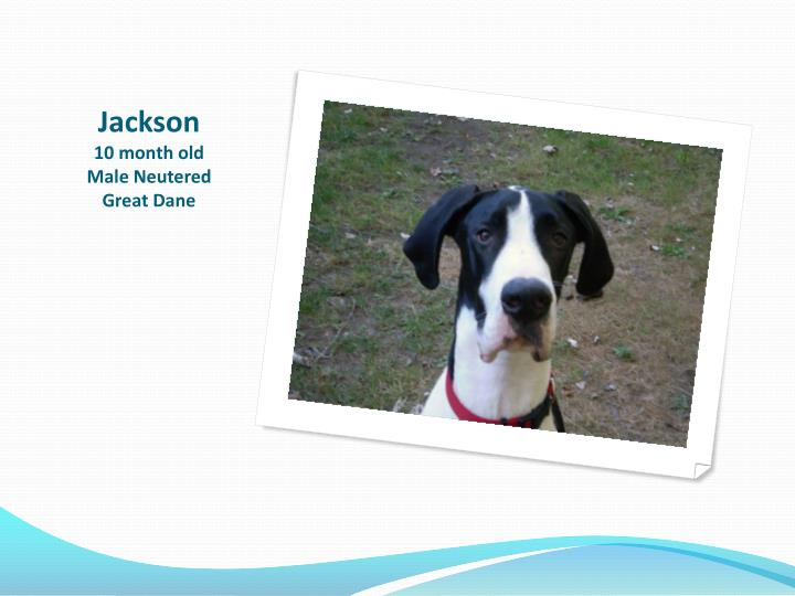 Jackson 10 month old male neutered great dane