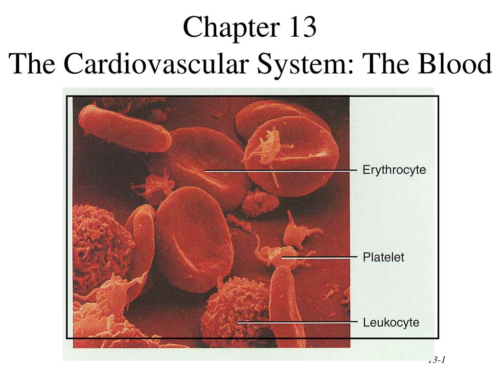 chapter 13 the cardiovascular system the blood l.