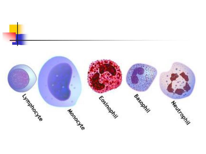Leukocytes white blood cells