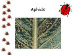 aphids17