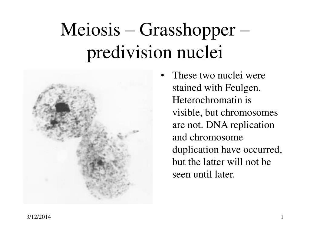 meiosis grasshopper predivision nuclei l.