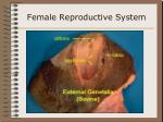 female reproductive system19