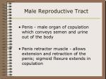 male reproductive tract35